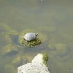 echte Schildkröte im Arno